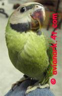 Parrot pictures of Parrots,amazon parrots, parrotlets