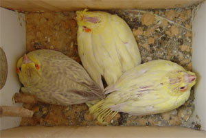 Young cockatiels (nymphicus hollandicus)