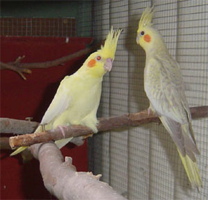 Cockatiels (nymphicus hollandicus)