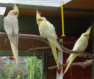 The three young cockatiels (nymphicus hollandicus)