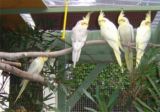 Whole family cockatiels (nymphicus hollandicus)