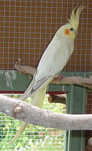 Pearl cockatiel (nymphicus hollandicus) female