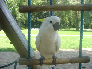 Paco (triton cockatoo) in the play garden!