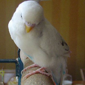 Isn't he the most cutest budgie?