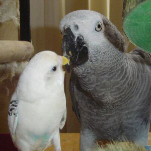 Budgie meets African grey parrot!