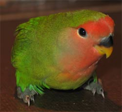 Flit the peach faced lovebird! (agapornis roseicollis)