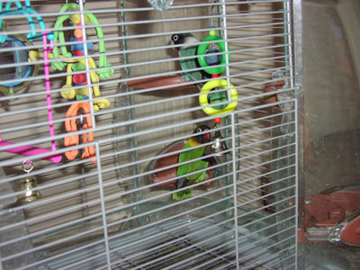 The masked lovebirds in their cage!