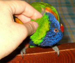 Rainbow lorikeets need lot of headscritches, didn't you know?
